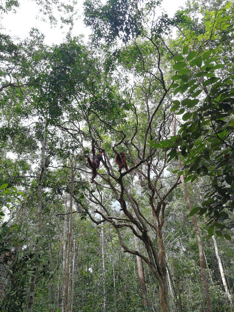 Ver orangutanes en Borneo