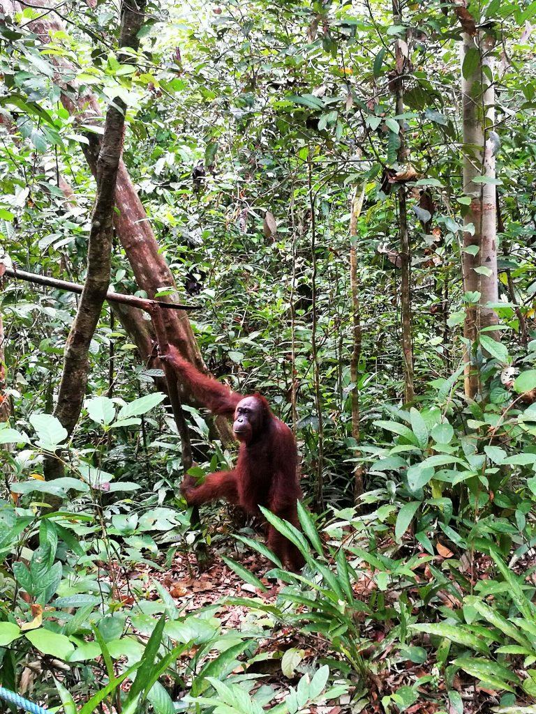 Orangutanes en Indonesia - Haz La Mochila